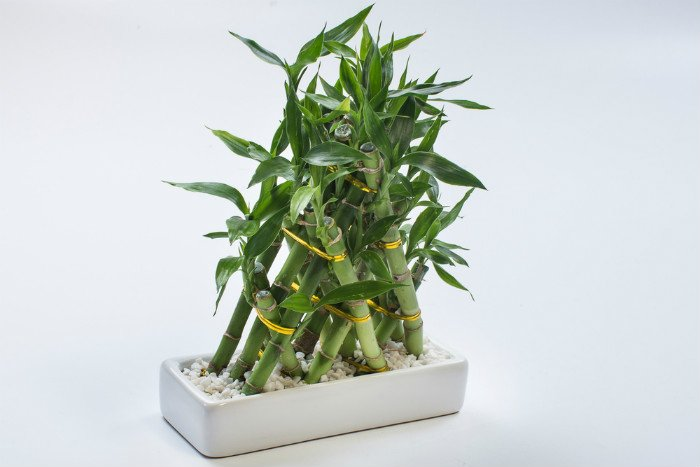 why a bamboo plant turning yellow is a problem sumo gardener. Black Bedroom Furniture Sets. Home Design Ideas