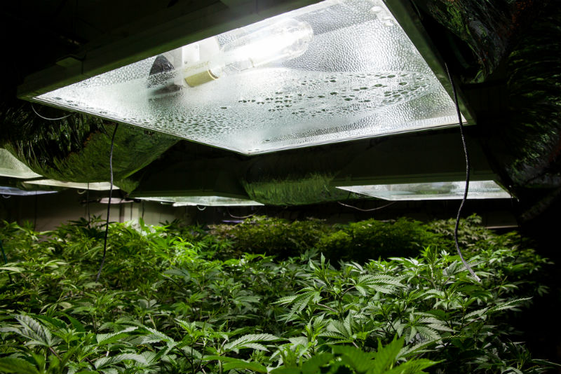 Marijuana grow room with a High Pressure Sodium (HPS) light bulb