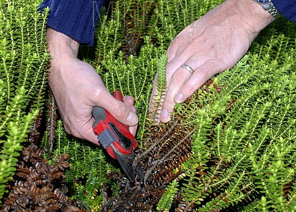 Pruning Your Hebes in Pots