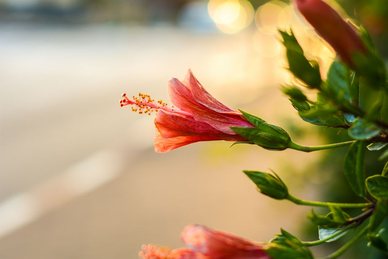 Hibiscus plants are sensitive to Stresses which can be shown through the dropping and changing colour of their leaves