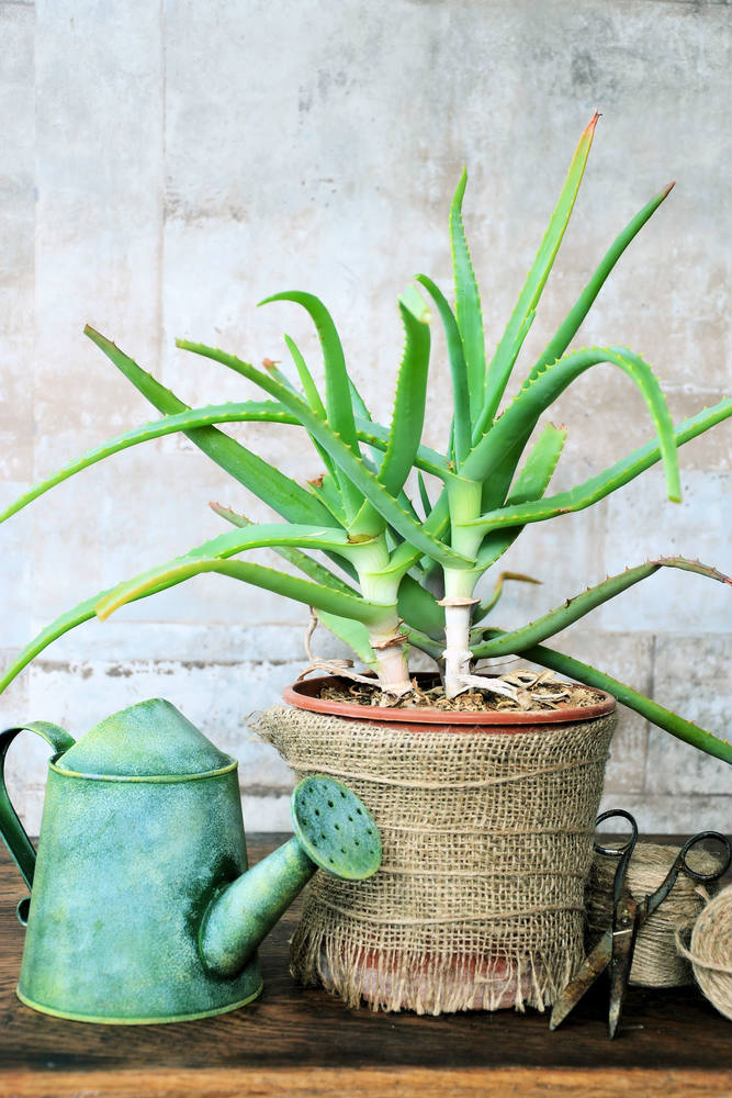 Aloe Plant Turning Brown: What You Absolutely Need to Know!