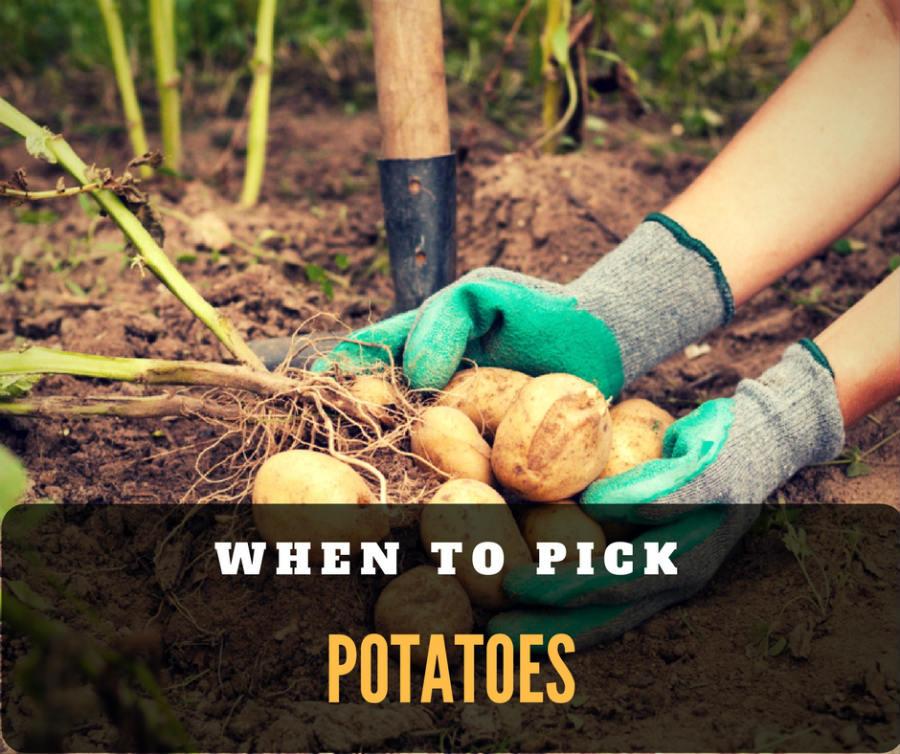 When to pick potatoes