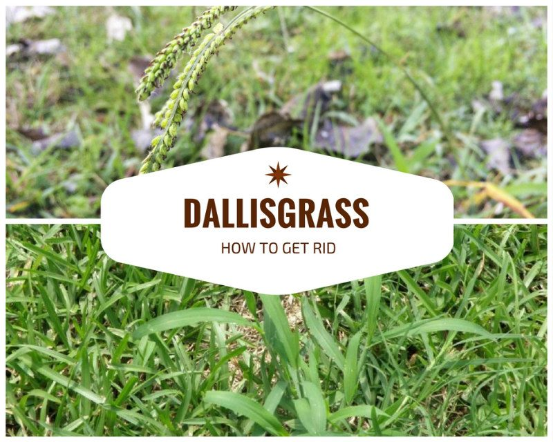 how to get rid of dallisgrass