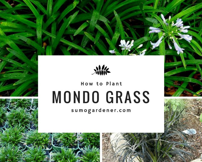 How to Grow Mondo Grass