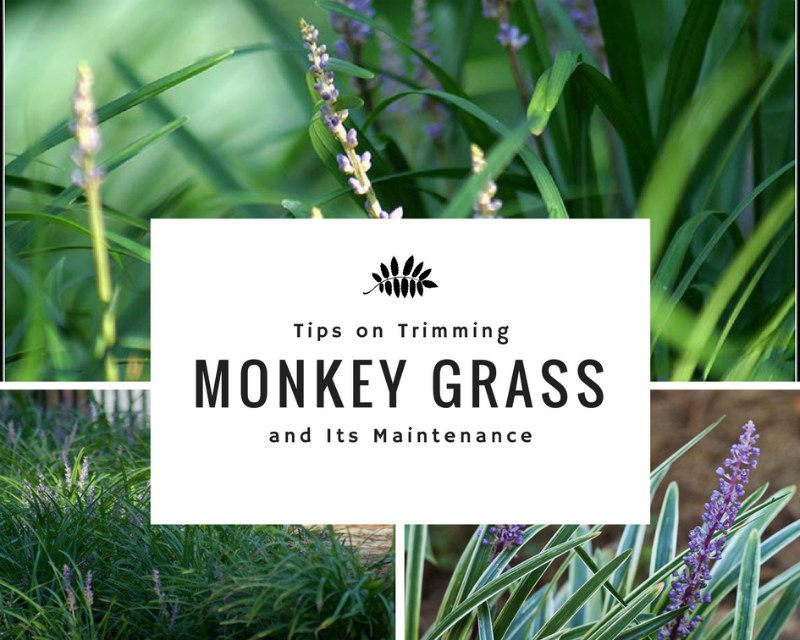 Trimming Monkey Grass