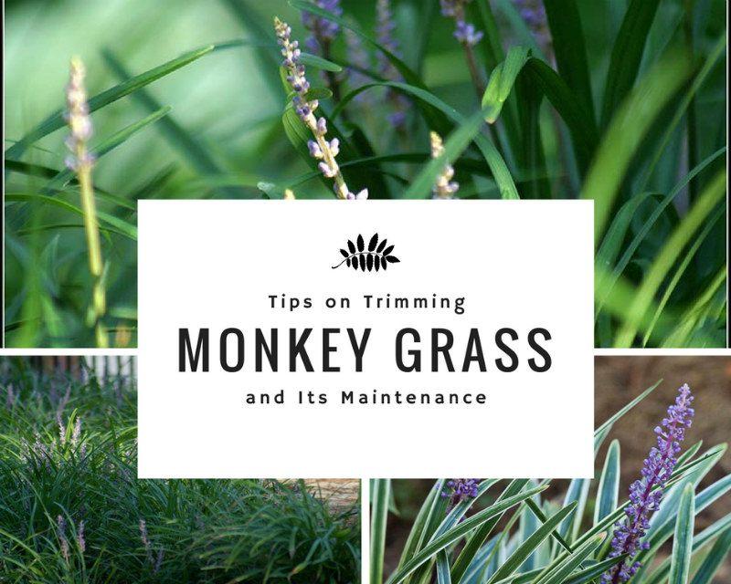 Trimming Monkey Grass