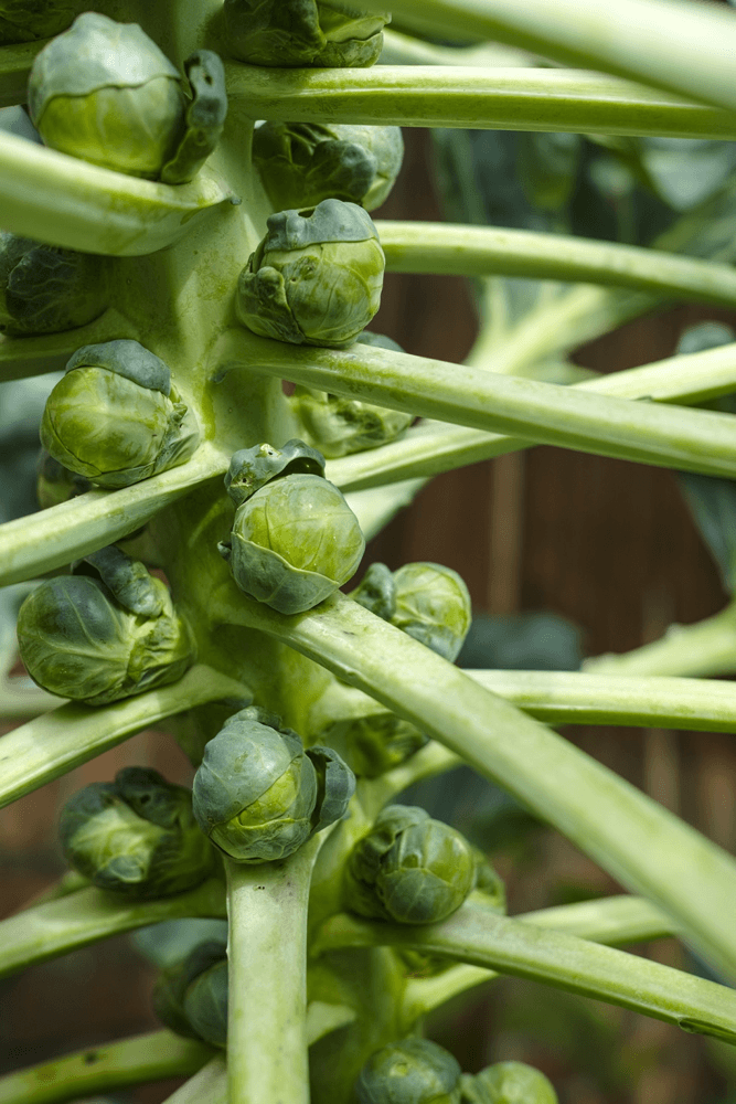 When to fertilize brussel sprouts?