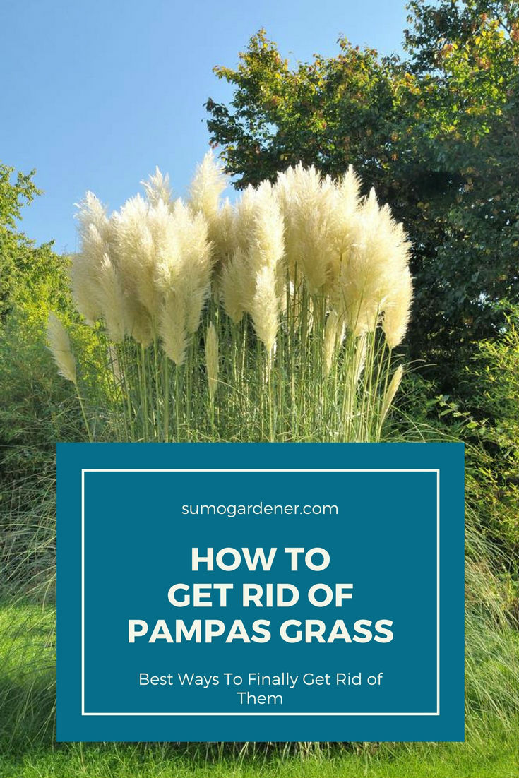 How to get rid of pampas grass pinterest