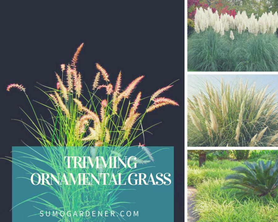 trimming ornamental grass