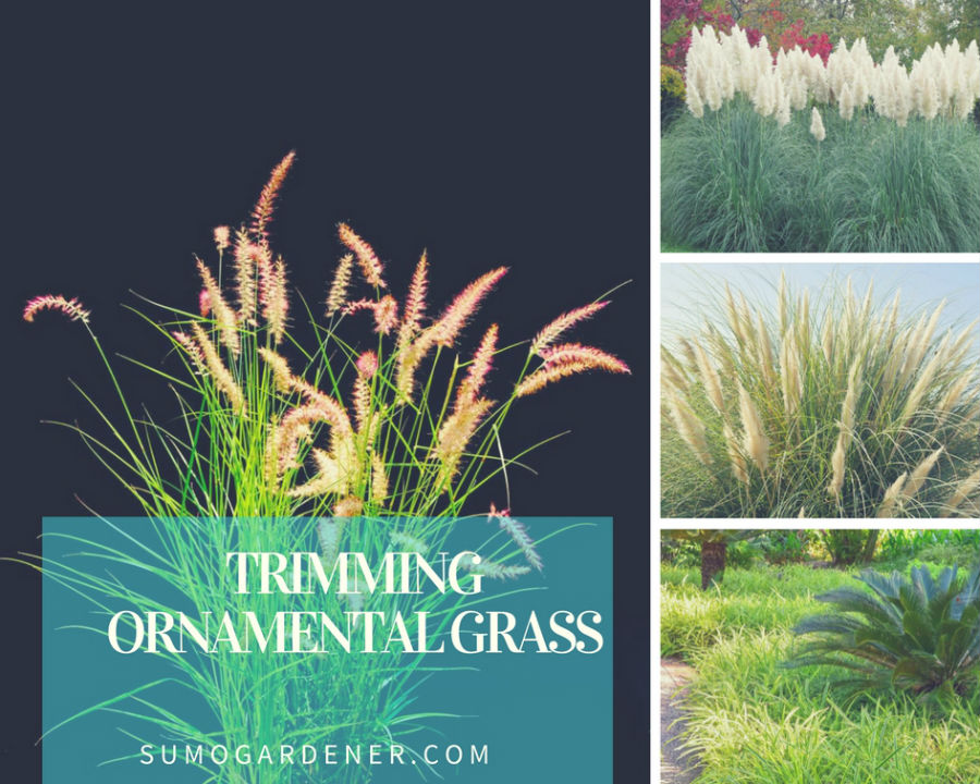 trimming ornamental grass