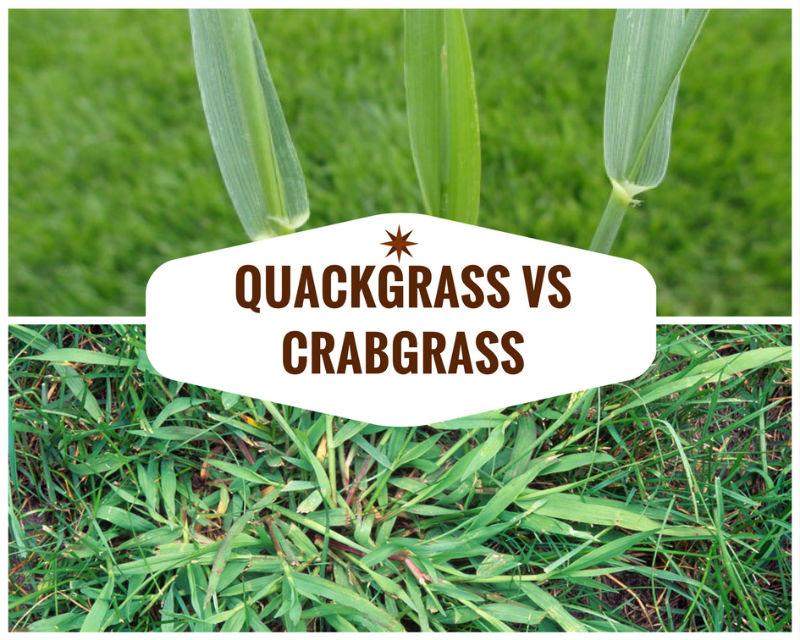 Quackgrass vs Crabgrass