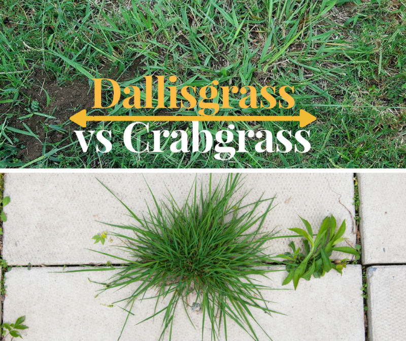 What is the different between dallisgrass vs crabgrass?
