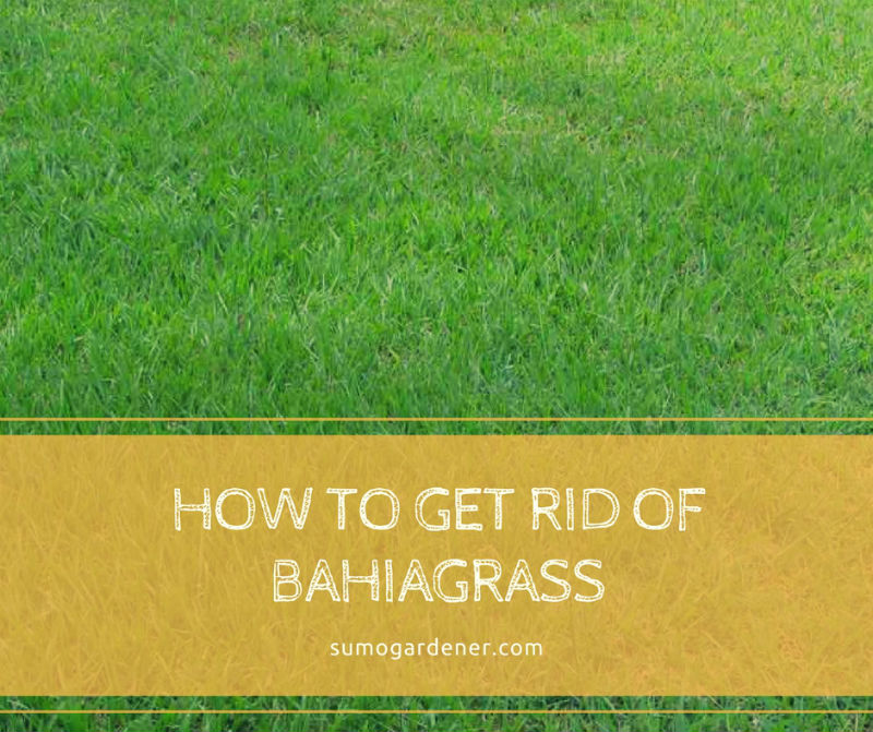 How To Get Rid Of Bahiagrass