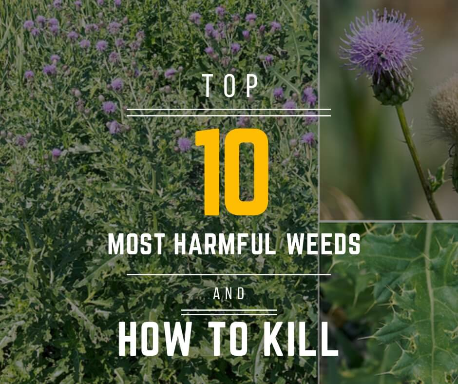 Top 10 of the Most Harmful Weeds and How to Kill Them