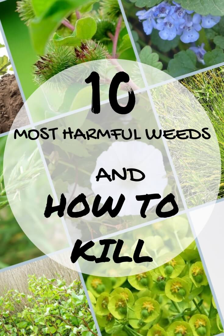10 most harmful weeds and how to kill them