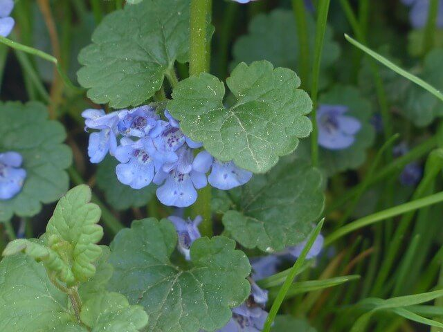 ground ivy weed