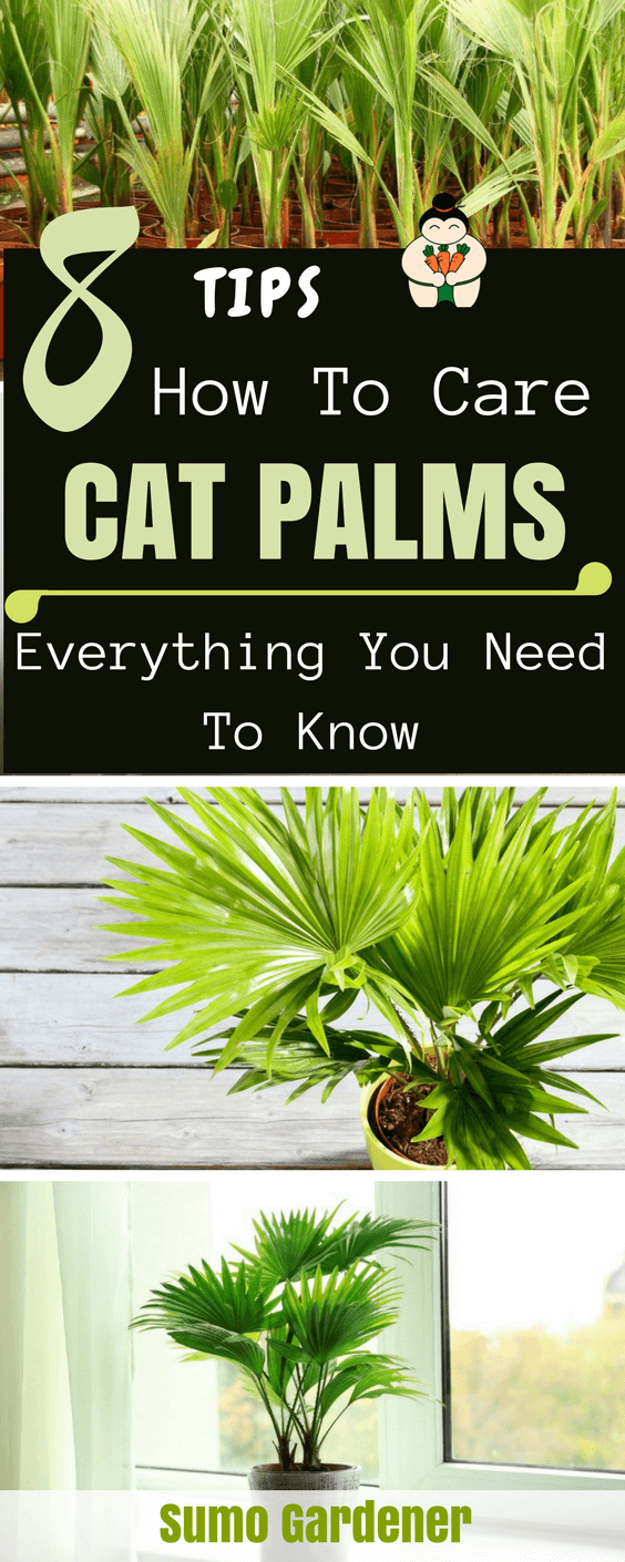 8 Tips How To Care Cat Palms #catpalms #indoorgardening #gardening #sumogardener