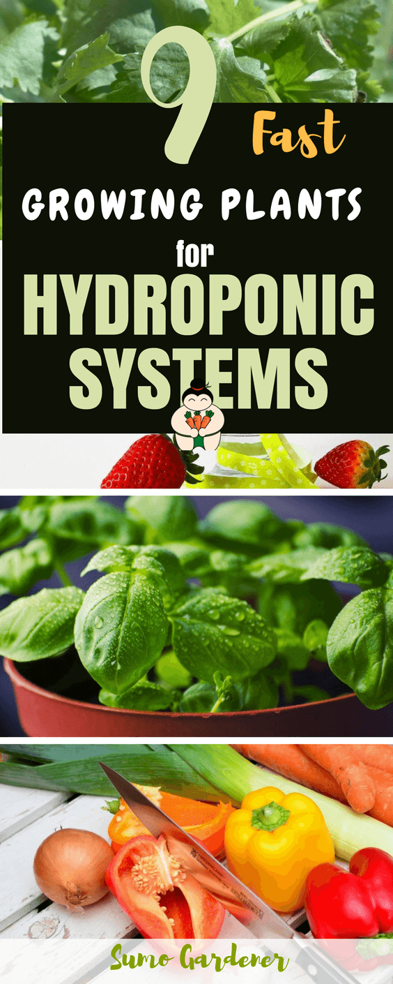 Are you planning to grow hydroponic plants? Do you want them because you like how fast they grow? If so, then reading the information about the different rapidly growing hydroponic plants. #hydroponicsystems #gardening #herbs #sumogardener