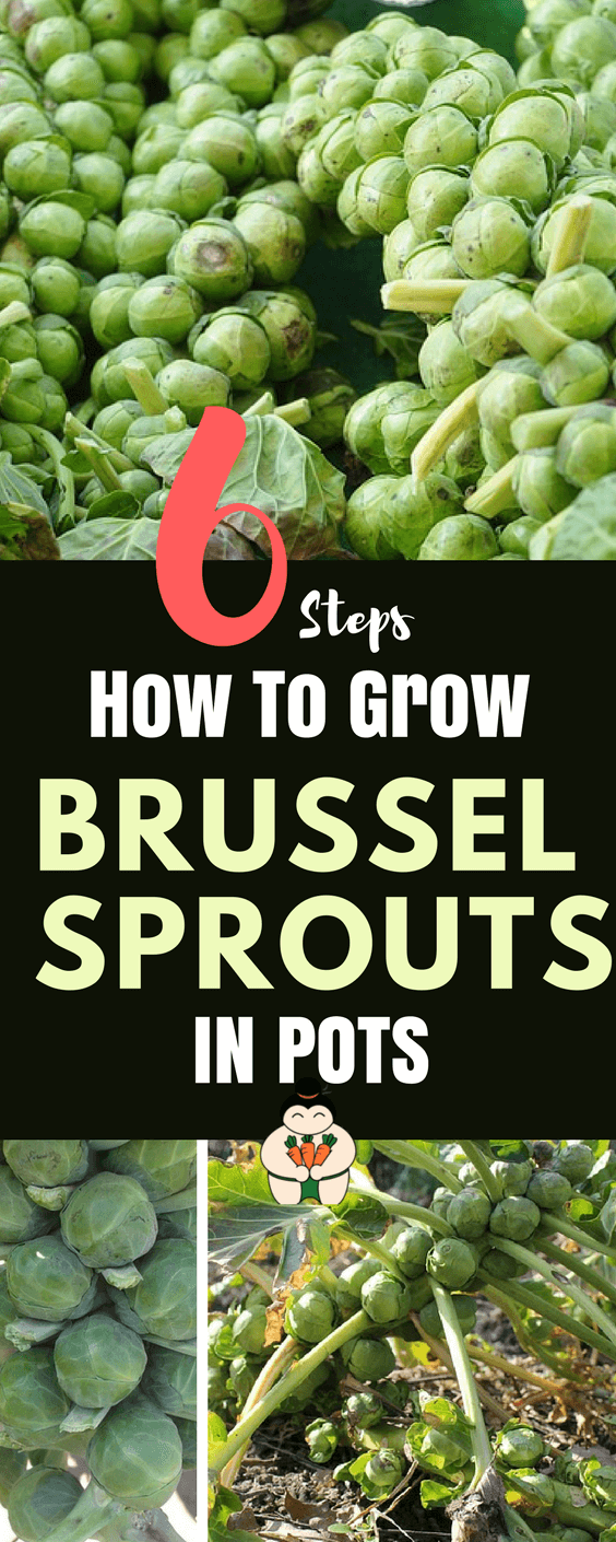 How to grow Brussel Sprouts In Pots?