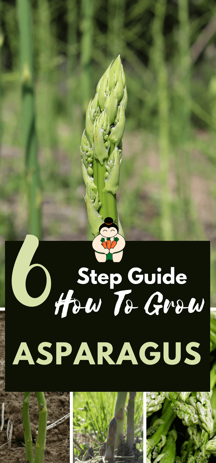 6 Step Guide How To Grow Asparagus #growasparagus #gardening #organicgarden #sumogardener