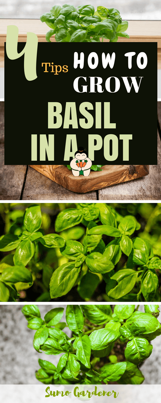 how to grow basil in a pot here are 4 easy tips for you to follow. Black Bedroom Furniture Sets. Home Design Ideas