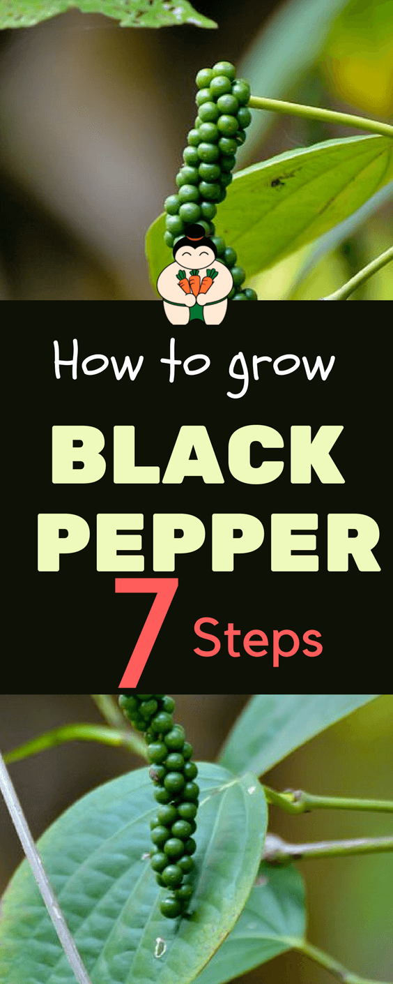 Growing black pepper requires a lot of patience. For one, it only grows in moist and humid conditions. These perennial vines are also hard to maintain during the first year of growth.  #blackpepper #vegetablegardening #gardening #sumogardener
