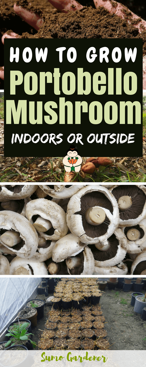 How To Grow Portobello Mushroom at Home (Indoors and Outside) #portobellomushroom #growmushroom #gardening #indoorgardening #sumogardener