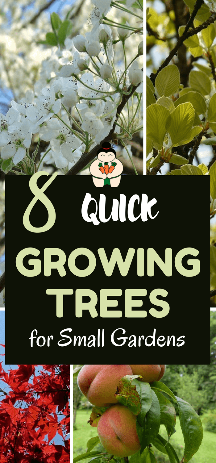 8 Quick Growing Trees for small gardens