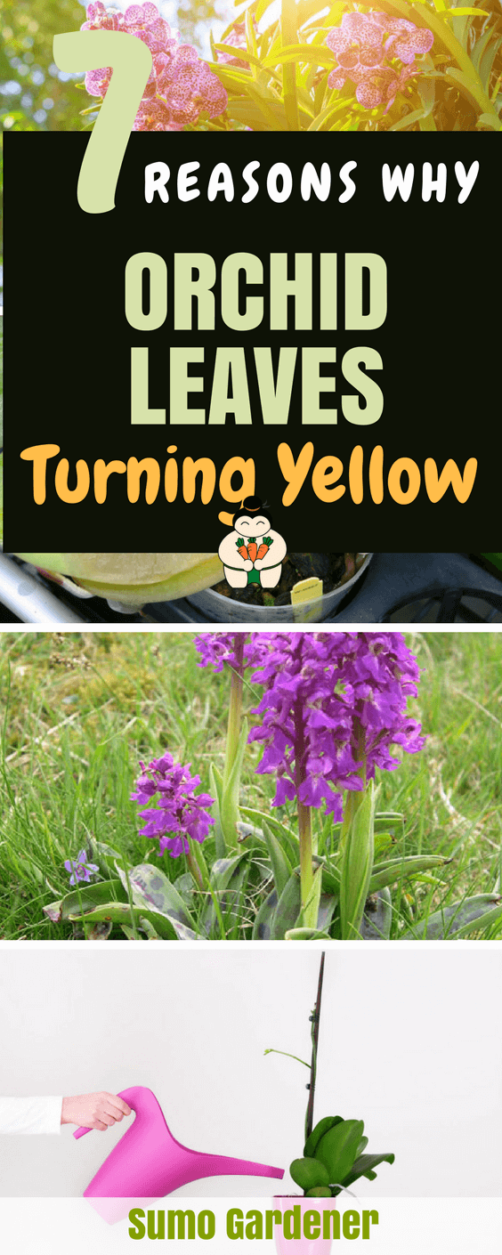 7 Reasons Why Orchid Leaves Turning Yellow #growingorchid #orchidleaves #gardening #sumogardener