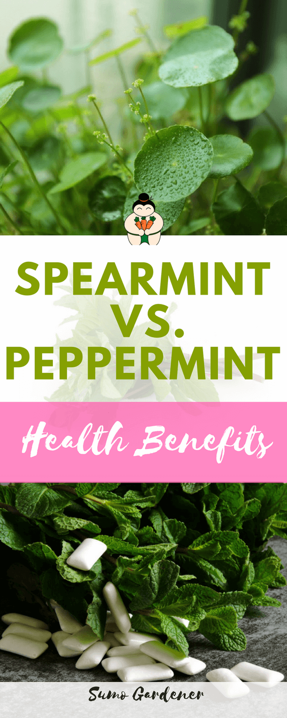Peppermint vs Spearmint: What's the Difference? #herb #spearmint #peppermint #healthlifestyle #sumogardener
