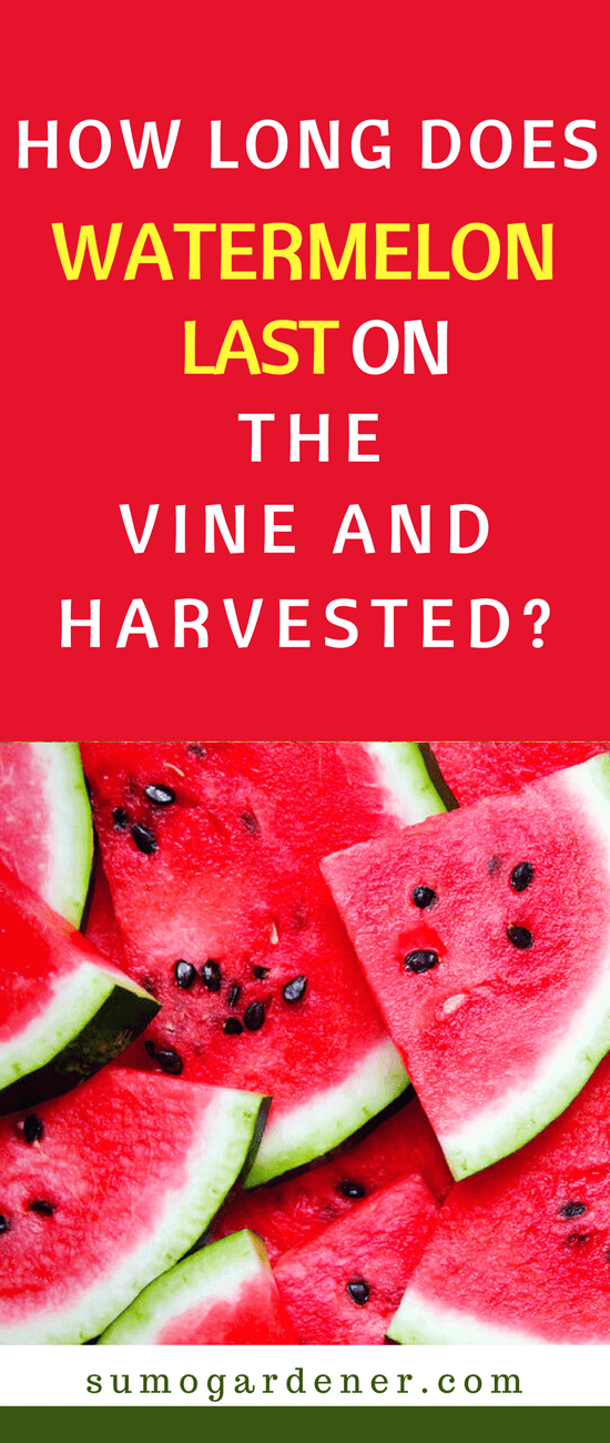 If you are wondering how long does a watermelon last, the answer is simple. On the vine, you should pick within two weeks of ripening. Once harvested, the time frame is between 7 days and three weeks depending on storage method and if you cut it first.