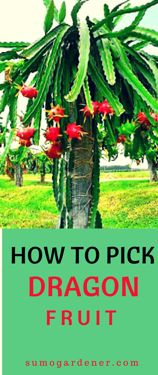 Everything that you need to know about how to pick a dragon fruit and to know when it is ready to be harvested are all discussed above. Now, all you have to do is to wait for your dragon fruit to get ripe for you to be able to pick it and for you to enjoy its sweet goodness.