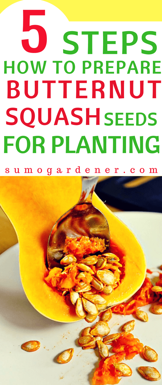 If this is your first time to develop one, then knowing how will help you to grow your butternut squash seeds successfully.