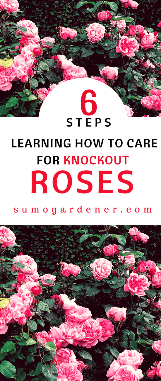 If you want a low maintenance rose bush, Knockout Roses are the way to go. Learning how to care for Knockout Roses is relatively easy; they are designed to be durable. In fact, I think you could do nearly anything to these bushes and not kill them.