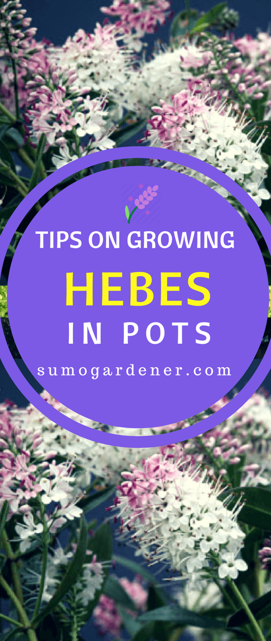 These are the information about hebe plants and the varieties that you can plant in your garden. Growing hebes in pots for the first time can be challenging, but once you get the hang of it, then there won't be any problem at all.