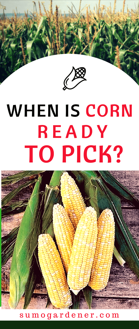 Everything that you need to know about when is corn ready to pick is mentioned above. It may not be easy at first, but once you get the hang of it, then there wouldn't any problem at all. Just make sure to check the ears before actually picking them carefully.
