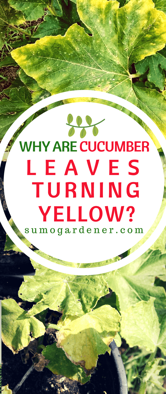 These are the information on why cucumber leaves turning yellow is a problem and how you can prevent them from invading your plants.