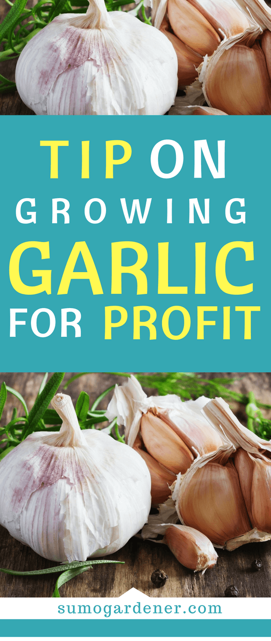 If you are one of the many who is planning to grow garlic to earn a profit, then the information below will surely be useful for you.