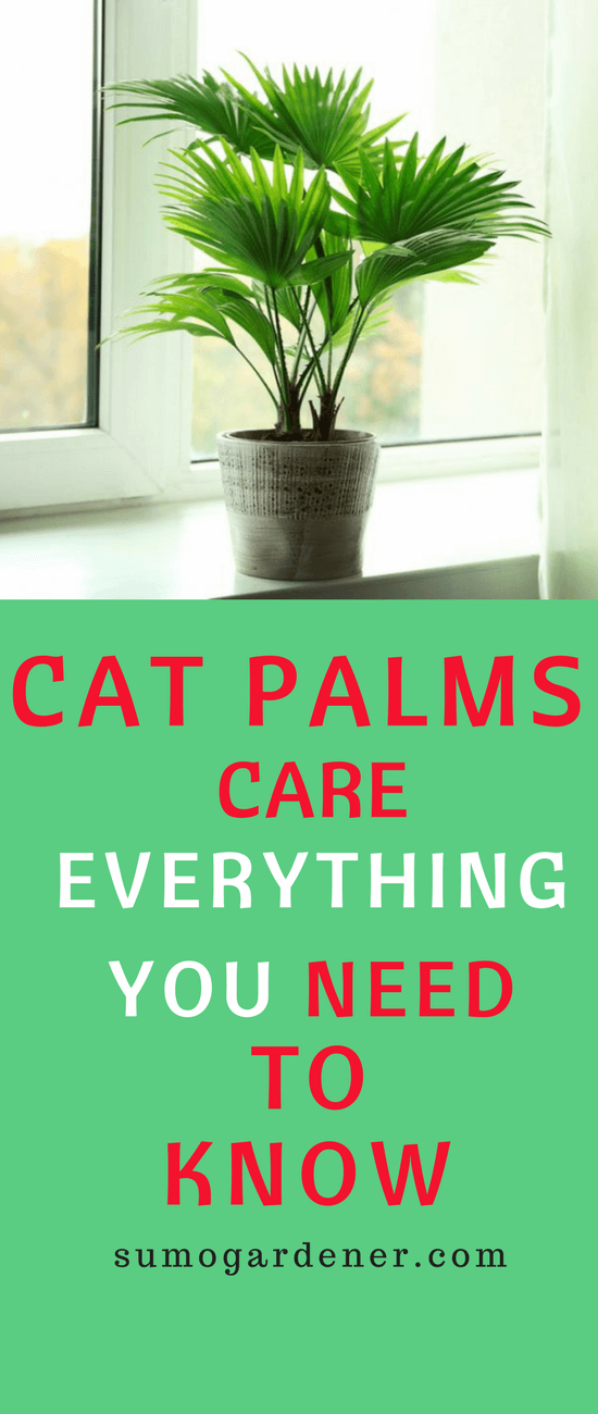 These are the information about Cat Palms care that you need to follow, for you to ensure that your plant will live indoors for a long period. Start caring for them now for you to be able to have a beautiful plant that will help you to have cleaner air.