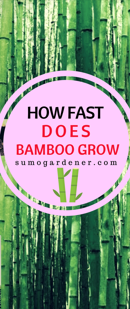 Everything that you need to know about bamboos, from how fast does bamboo grow, how big they can get and even how you can properly maintain them are mentioned above.