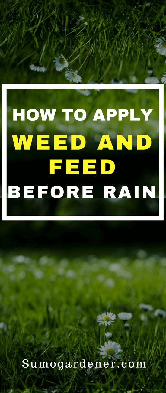 Can you apply weed and feed before rain?