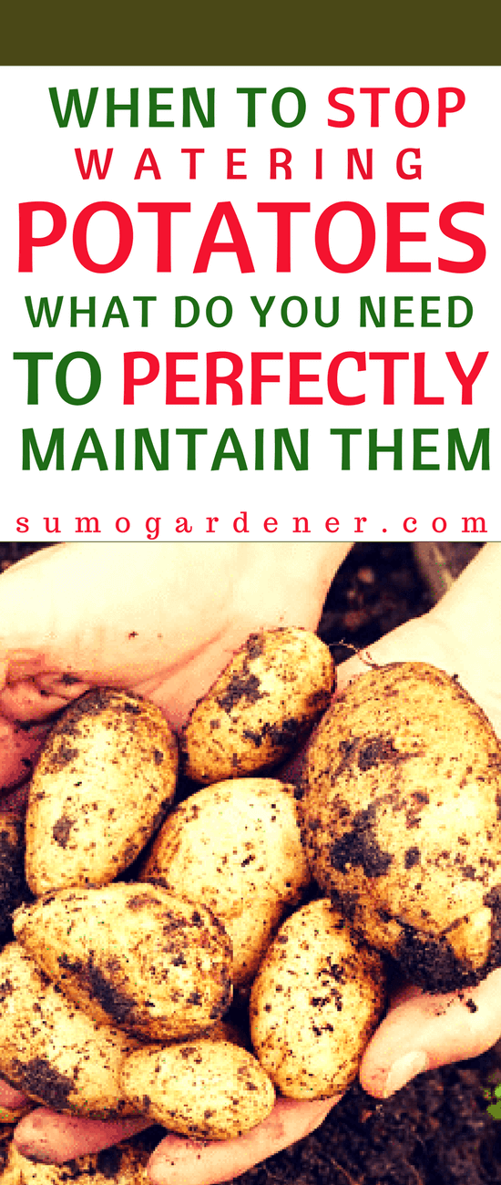 If you are a rookie potato grower yourself, you might be surprised when it's time to harvest your potatoes only to find out that are already rotten. The primary reason: you did not know when to stop watering potatoes. This article will tell you when to stop watering potatoes, and how to properly take care of your crops.