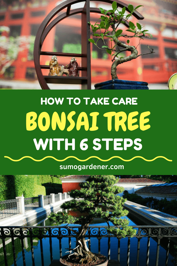 How To Take Care Of Bonsai Tree With 6 Steps Sumo Gardener