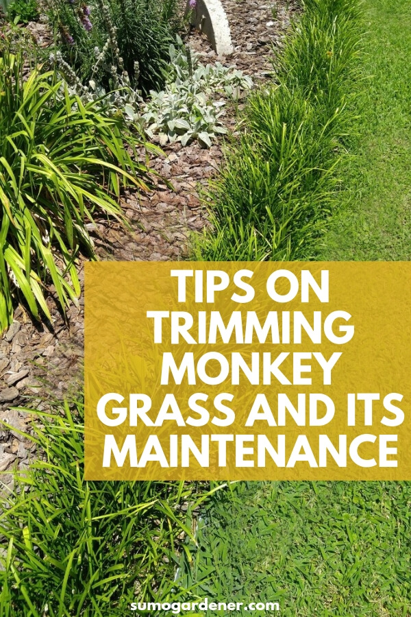 Get to know some valuable tips on trimming monkey grass by reading the information below.