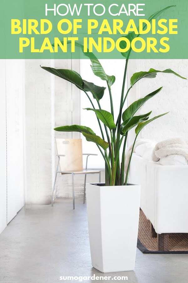 learning how to take care of a bird of paradise plant indoors is quite simple. With the proper sunlight and watering routines, it will last for years to come, brightening up your living space.