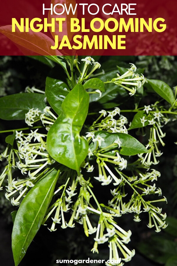 gardeners can easily learn all about night blooming jasmine care! It is a lovely, fragrant bush to grow if you live in a warm environment.