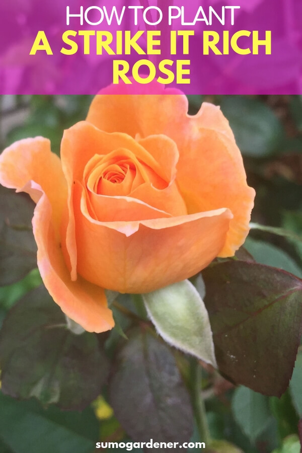 how you can plant a strike it rich rose
