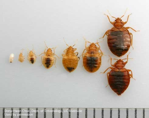 How Long Can Bed Bugs Survive Outdoors?