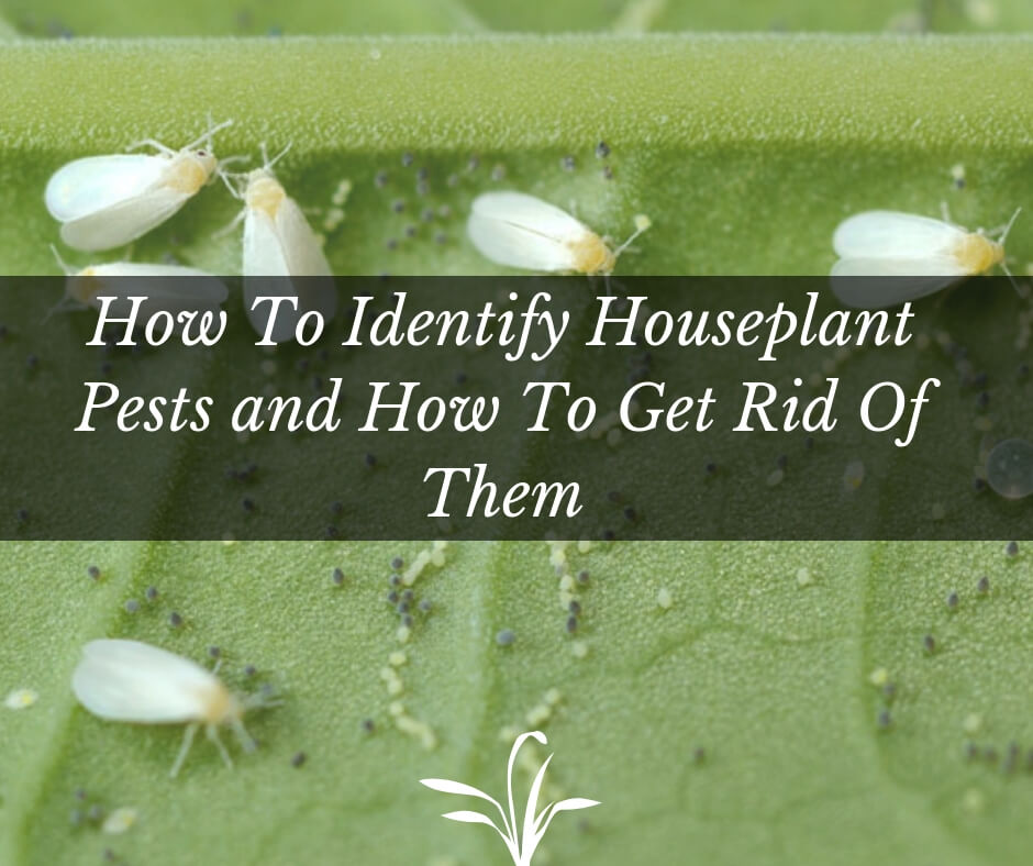 How To Identify Houseplant Pests and How To Get Rid Of Them
