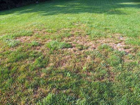 signs of grub in your lawn